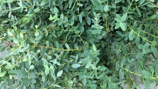 Buy Eucalyptus Parvifolia at Triangle Nursery Ltd