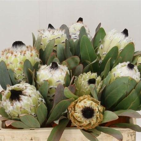 Protea Snow Queen - New Blooms to Market!