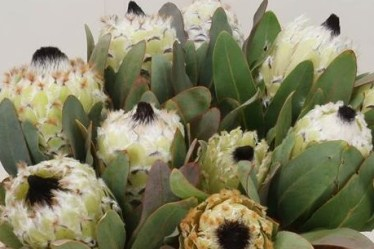 Protea Snow Queen - New Blooms to Market!