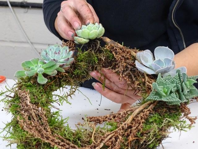 DIY Echeveria Wreath - Triangle Nursery Ltd