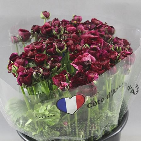 Ranunculus Elegance Violet - Triangle Nursery Ltd