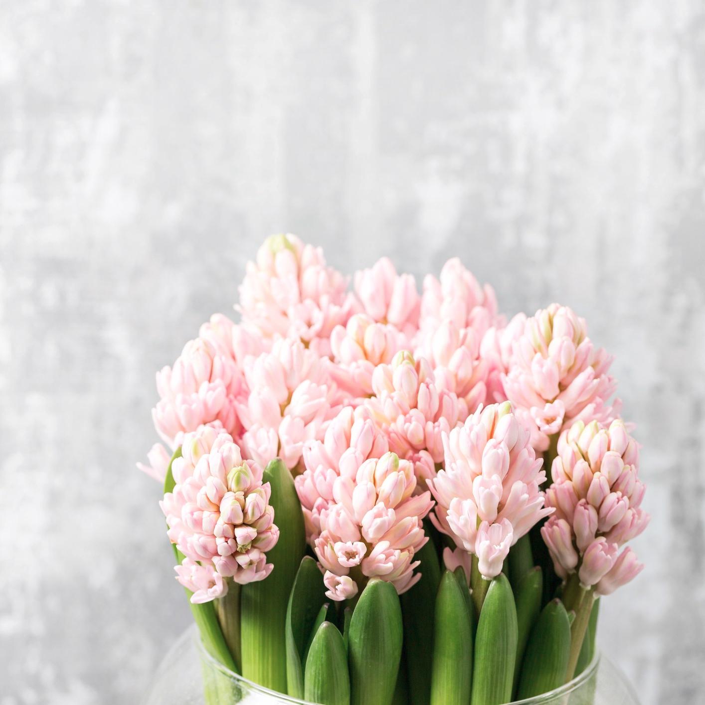 Information on Hyacinths - Triangle Nursery Ltd