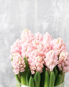Information on Hyacinths - Triangle Nursery Ltd