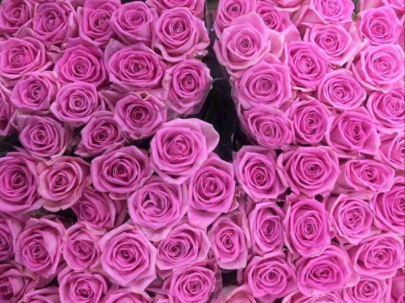 Rose Aqua - Triangle Nursery Ltd