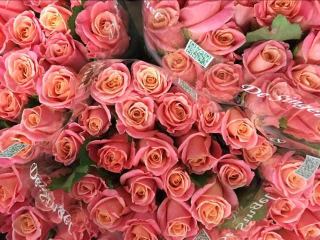 Rose Miss Piggy - Triangle Nursery Ltd