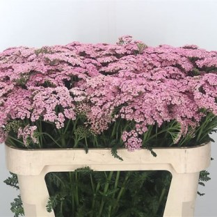 Achillea Moneymaker - Achillea Wholesale Flower Guide