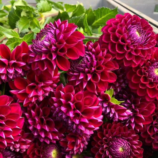 Flower of the Month August: Dahlia