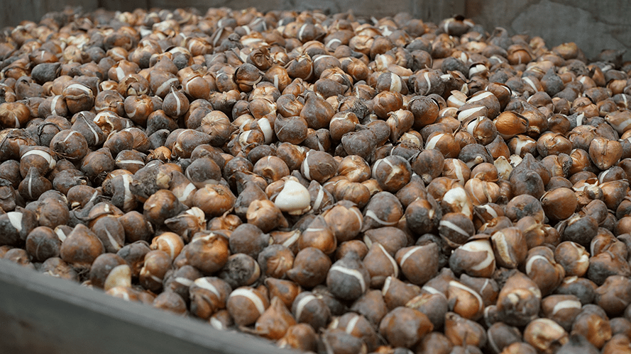 Tulip bulbs are delivered in containers ready to be planted