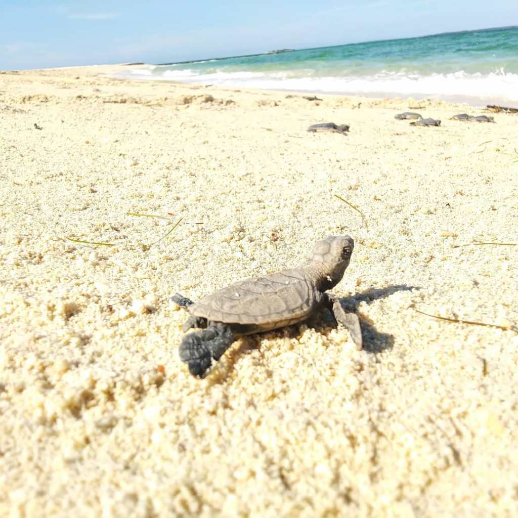 See baby turtles on Selingan Island