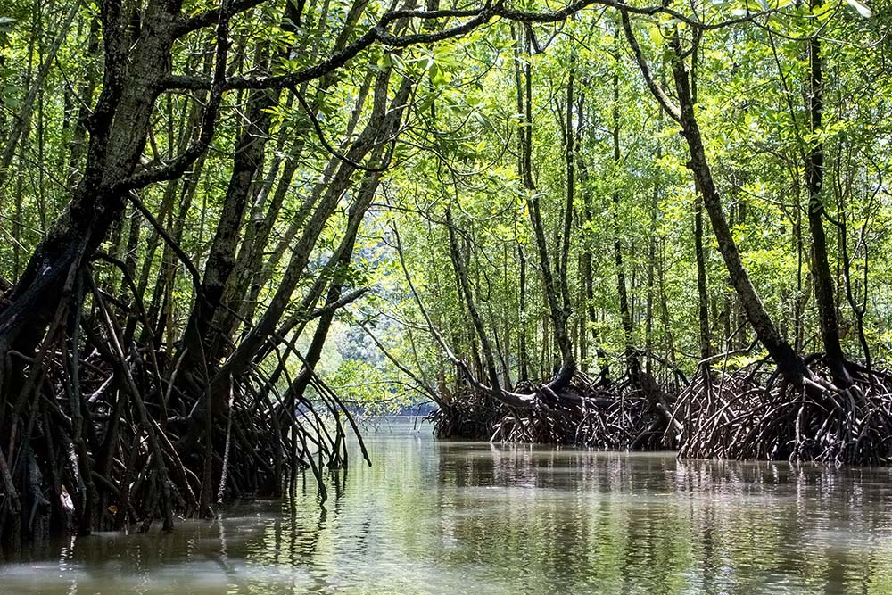 Mangrove forest kayak is super exhilarating! Make sure to spot the monkey's
