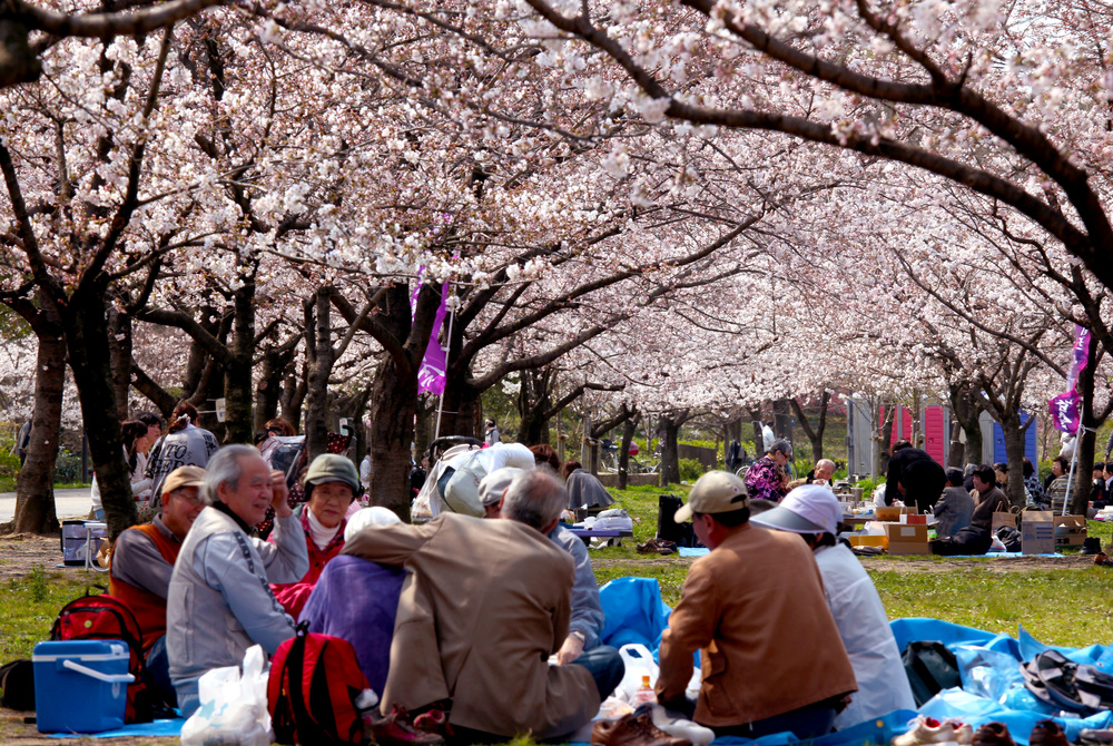 Best Time to Go to Osaka, Cherry Blossoms