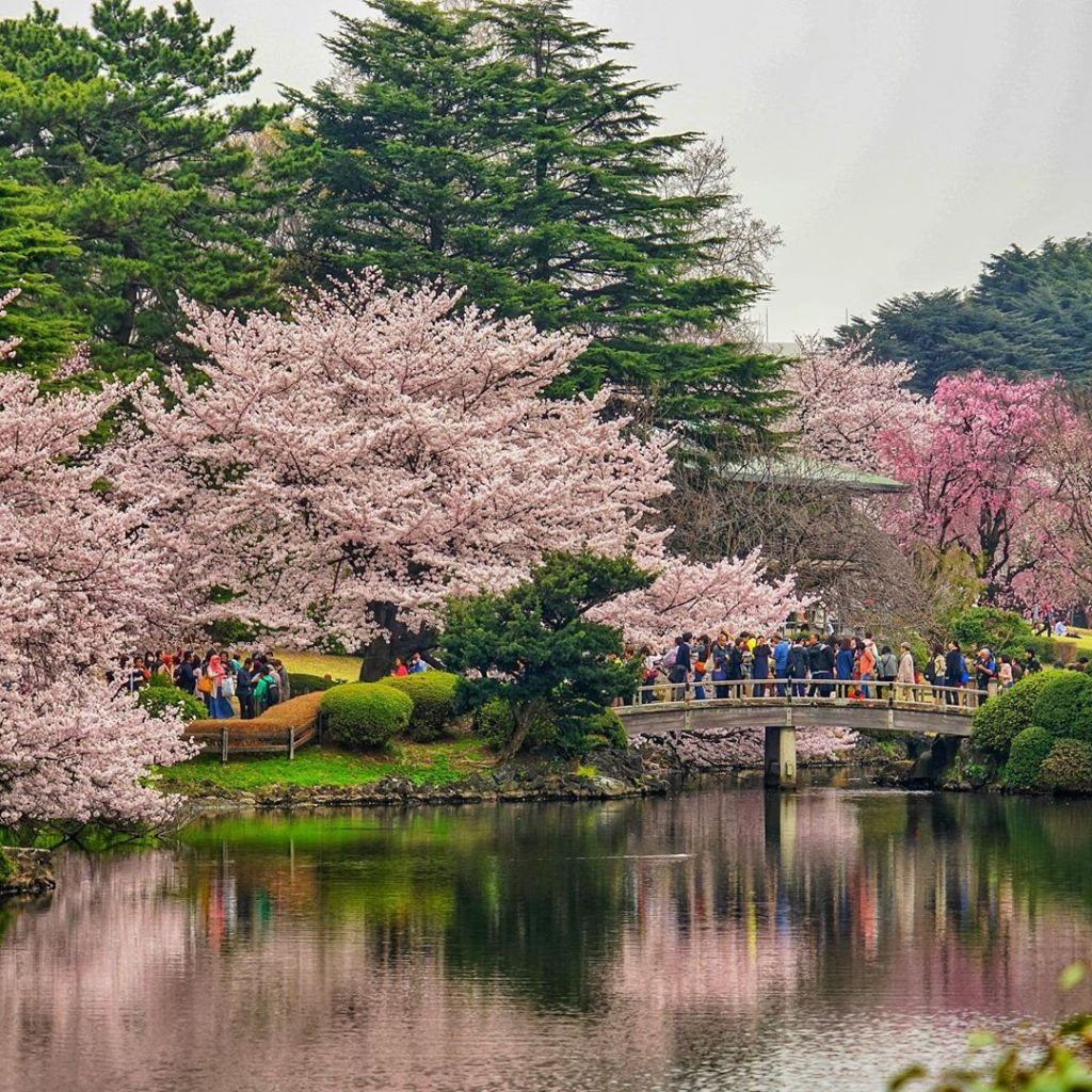 Shinjuku Gyoen gives a perfect scenery during cherry blossom season.