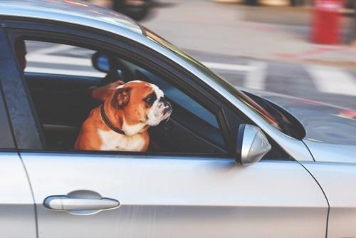 animales coche ola de calor