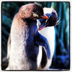 A Good Morning to be a Rockhopper Penguin!