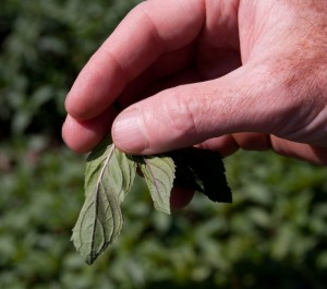 Close-up of peppermint leaves used to make our organic peppermint tea