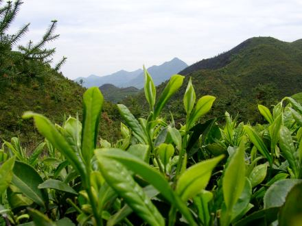 Tea in Darjeeling grows up high — about about 6,500 feet above sea level in the shadow of the Himalaya.