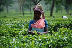 Tea plucker in Assam, India