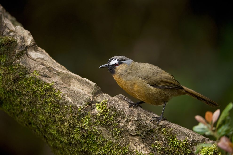 A Black-chinned