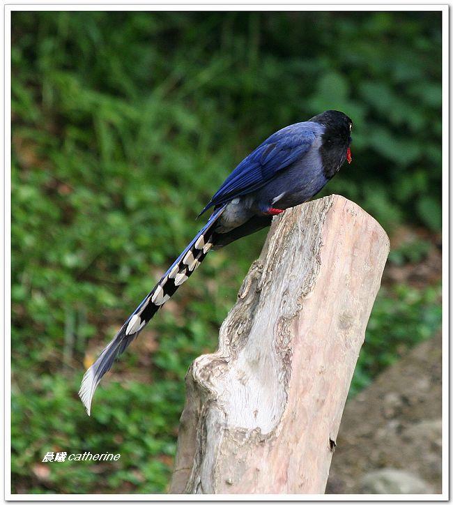 臺灣藍鵲的鳥樣子 - 晨曦的山中花園 - udn部落格