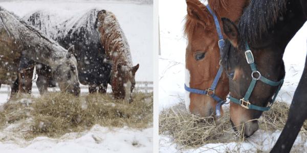 Mangiare il fieno, in inverno, aiuta il cavallo a riscaldarsi