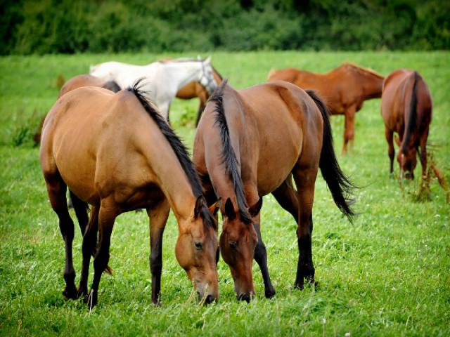 cavalli pascolo