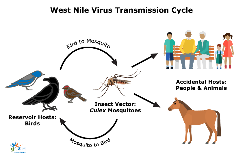 West nile ciclo
