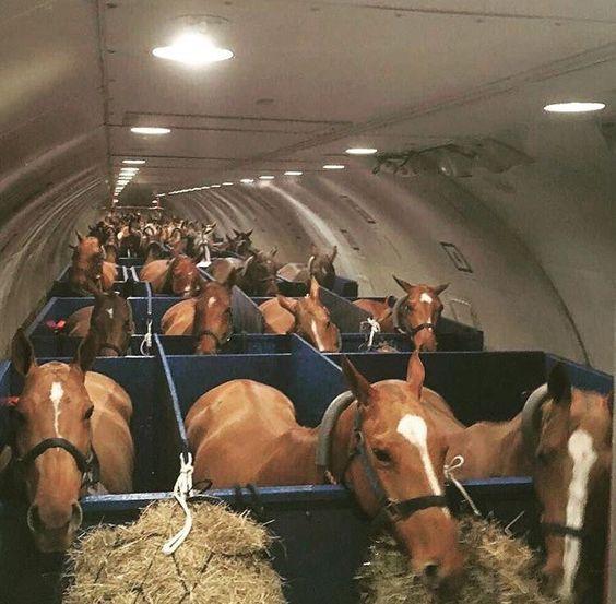 Trasporto di cavalli in aereo