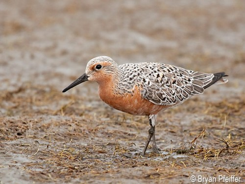 red-knot-600x450