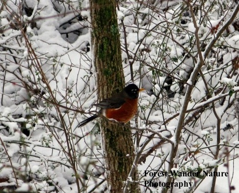 American robins are facultative partial migrants: they decide each year whether to migrate