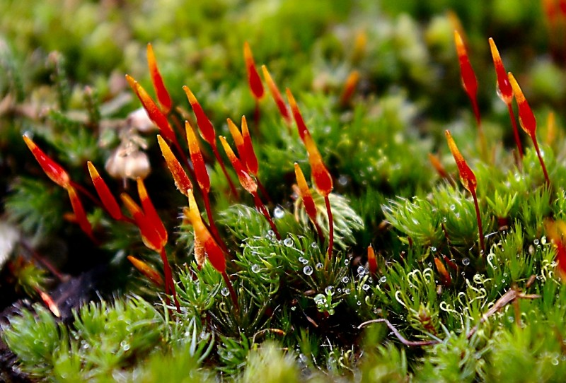 An example of moss sporophyte diversity and elegance. By Vaelta. Image licensed under creative commons by Wikipedia.