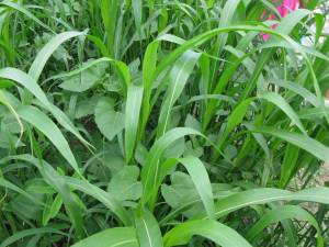 Sudangrass (with sunflower and sunn hemp).