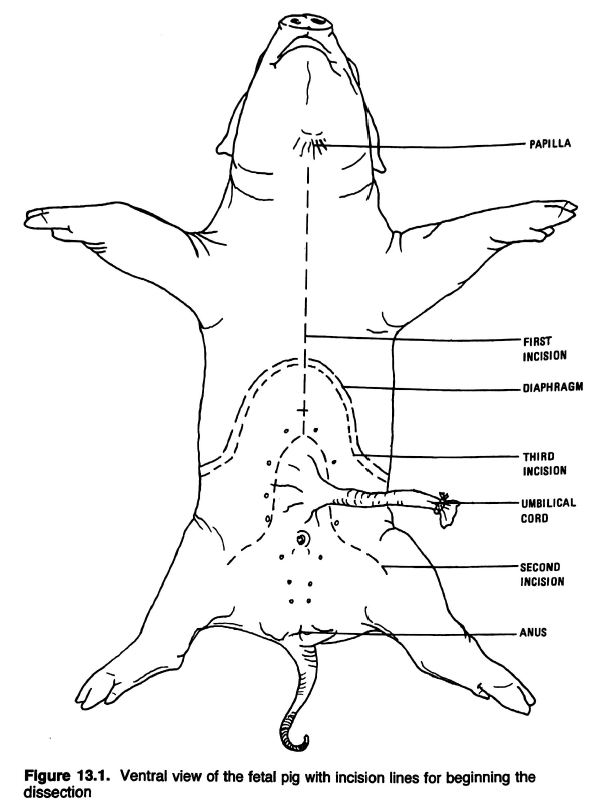 Fetal Pig Diagram