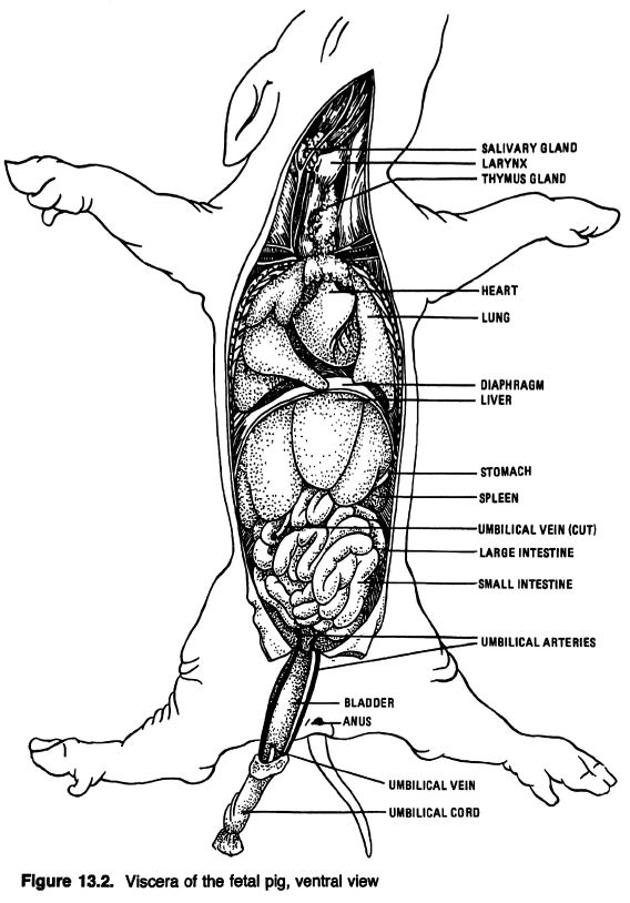 human muscular system diagram labeled 2002 north star engine anatomical drawings of a fetal pig