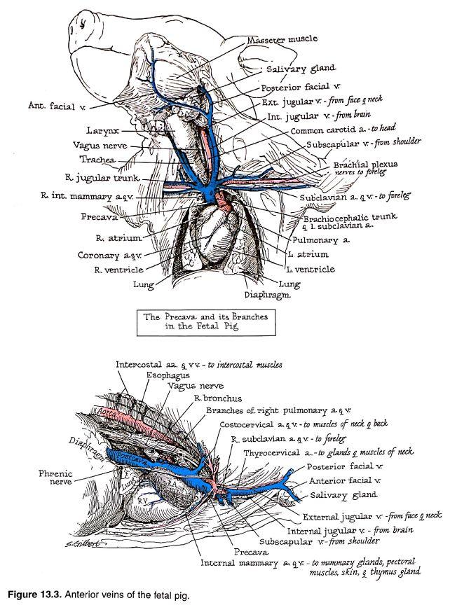 heart blood vessel diagram
