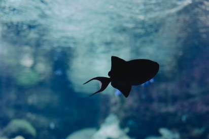 poisson-ombre