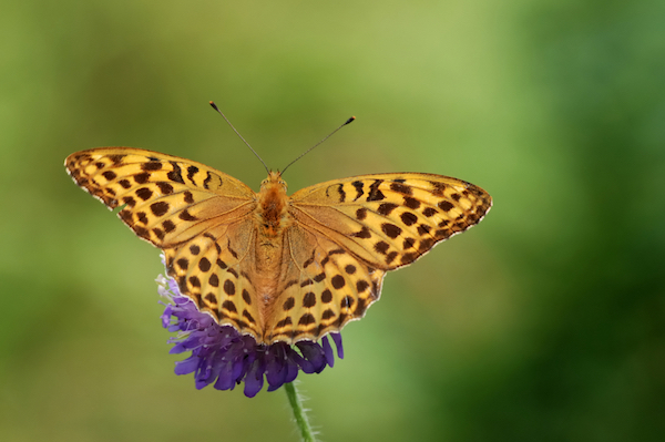 Silver-washed fritillary butterfly on a flower of field scabious
