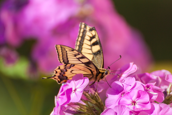 A rare swallowtail butterfly sitting on a pink phlox flower (Phlox paniculata)