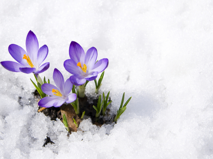 Purple iris flower blooming in snow