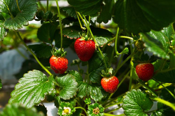 Red wild strawberries growing in the garden