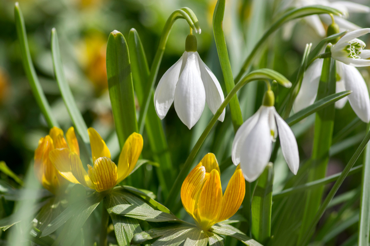 snowdrops and yellow winter aconite