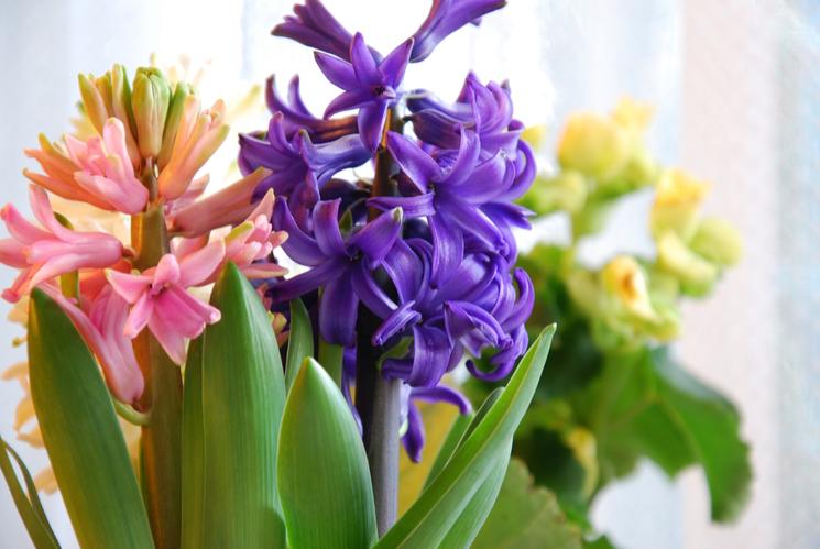 pink purple yellow hyacinths on windowsill