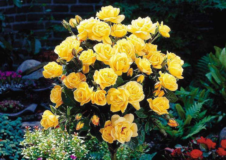 Rose standard yellow