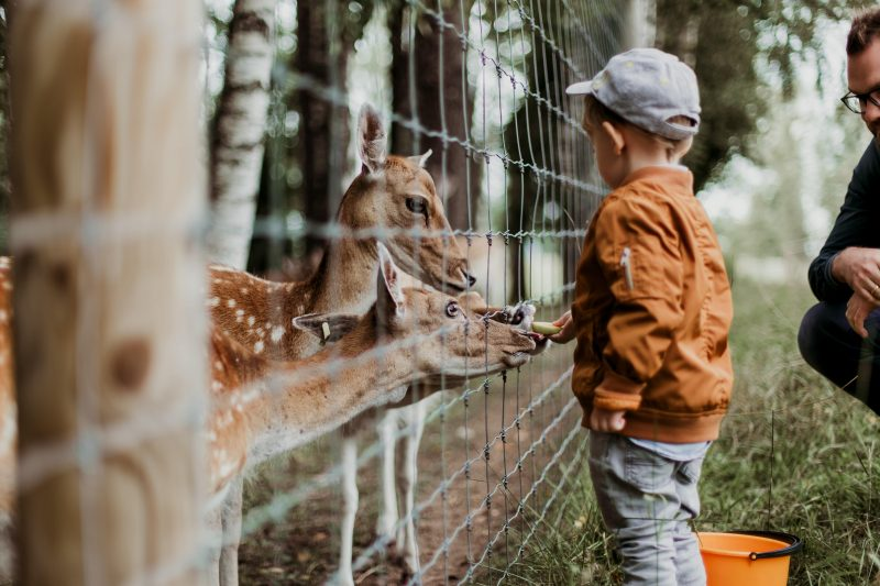 Boy at a Zoo feeding deer