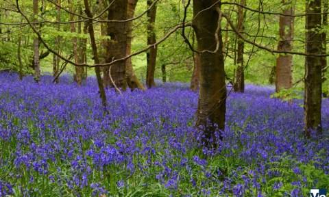 Королевский лес Banstead Woods: пролеска английская, легенды об Анне Болейн