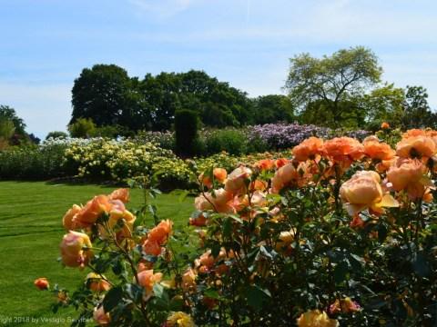Розарий в ботсаду Уизли: Роберт Майерс и королева цветов