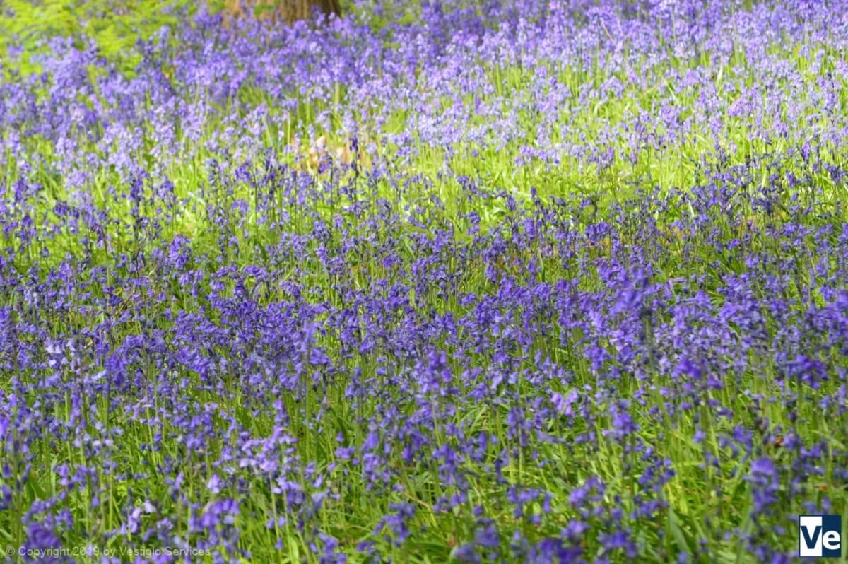 Bluebells in Hatchland Park: синяя магия лесных колокольчиков
