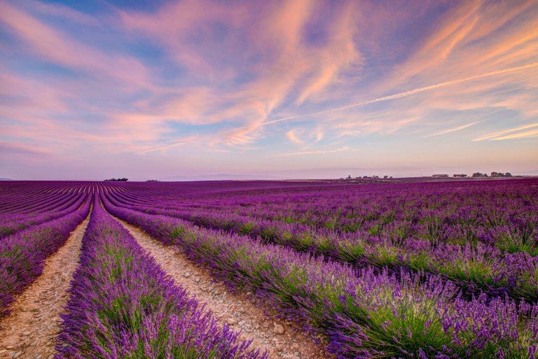 Lavender_Valensole_France_2018-21