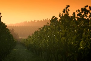 Sunrise at the vineyard