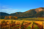 Vineyard_Hillside