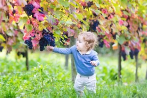 Baby girl eating fresh ripe grapes in a sunny autumn vineyard